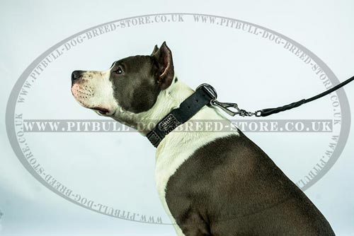 Military Dog Collar for American Staffordshire
