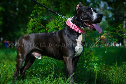 """Rock'n'Roll"" Pretty Dog Collar for Amstaff"