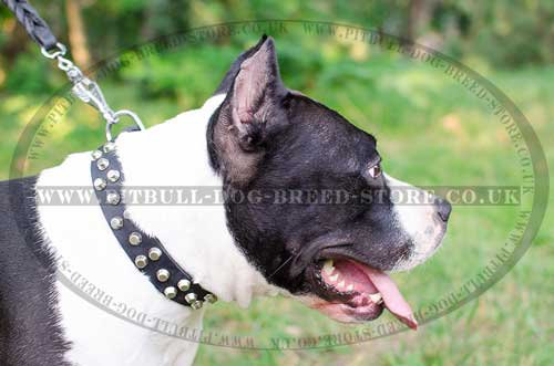 Amstaff Collar with Pyramids for Active Handling
