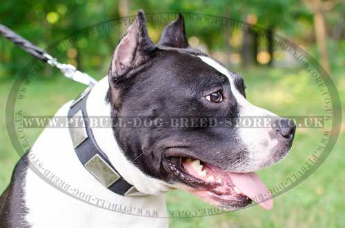 Fancy Dog Collar with Nickel Plates for Amstaff