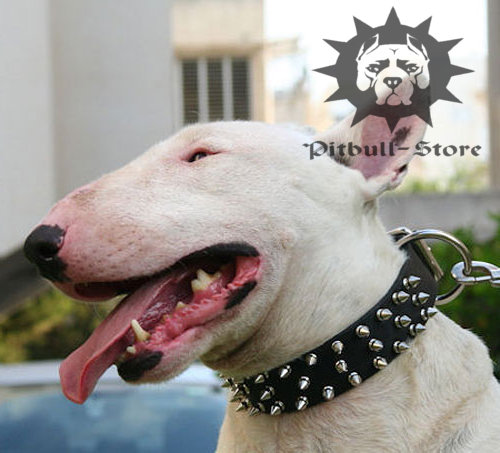 Bull Terrier Dog Collar of Leather with Spikes in Three Rows