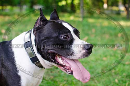 Stylish Leather Amstaff Collar with Nickel Plates Decoration