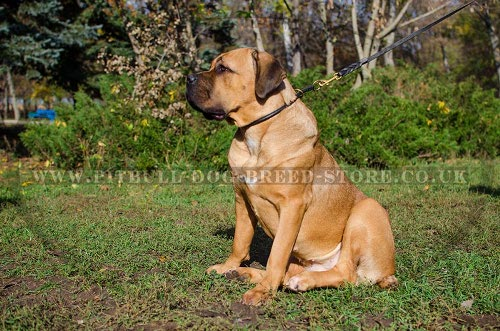 Training Collar for Cane Corso Behavior Control
