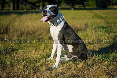 Lordly White Dog Collar for Amstaff - Click Image to Close