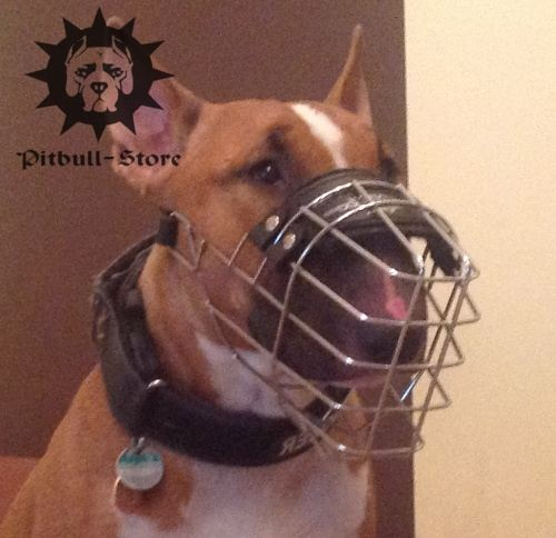 English Bull Terrier Muzzle for Socialising and Walking