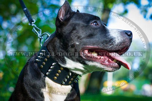 Showy XL Dog Collar with Spikes & Studs