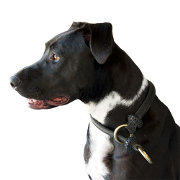 Pitbull Choke Collar for Training and Dog Shows