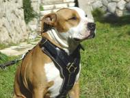 Padded Dog Harness for Amstaff | Leather Dog Harness, Luxury