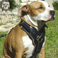 Padded Dog Harness for Amstaff of Luxury Design