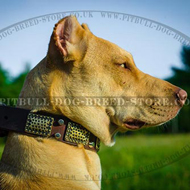 Chic Dog Collar for Trendy Pitbull & Staffordshire