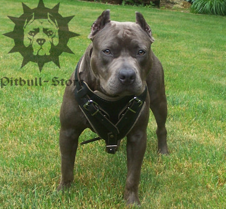 Agitation pit bull harness,