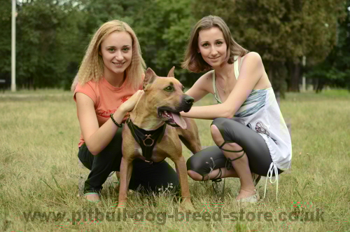 Pitbull with Owners