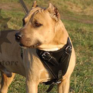 Pitbull Leather Harness is the Best for Agitation Training