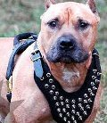 Dog Harness Leather Pitbull
