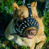 Pitbull in SPiked Dog Muzzle