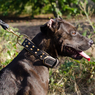 Collar and Lead on Staffy