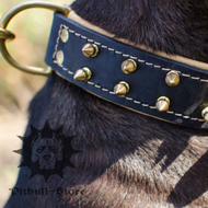 Nappa Padded Custom Dog Collar with Brass Spikes for Stafford