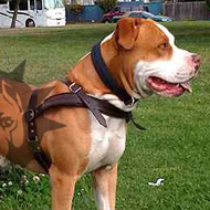 Pitbull Leather Dog Harness UK, International Shipping