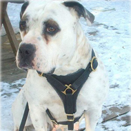 Leather Dog Harness for Tracking & Training