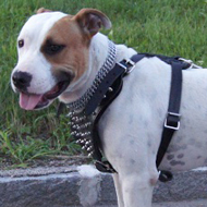 Spiked Dog Harness for English Staffy with Padding