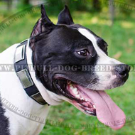 Stylish Leather Amstaff Collar with Nickel Plates