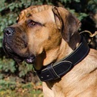 Thick Collar for Cane Corso of Double Leather for Training