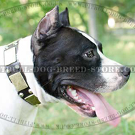 Wide Dog Collar with Brass Plates and Studs for Amstaff